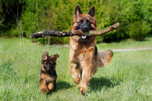 En Staffordshire Bull Terrier er en godmodig hund